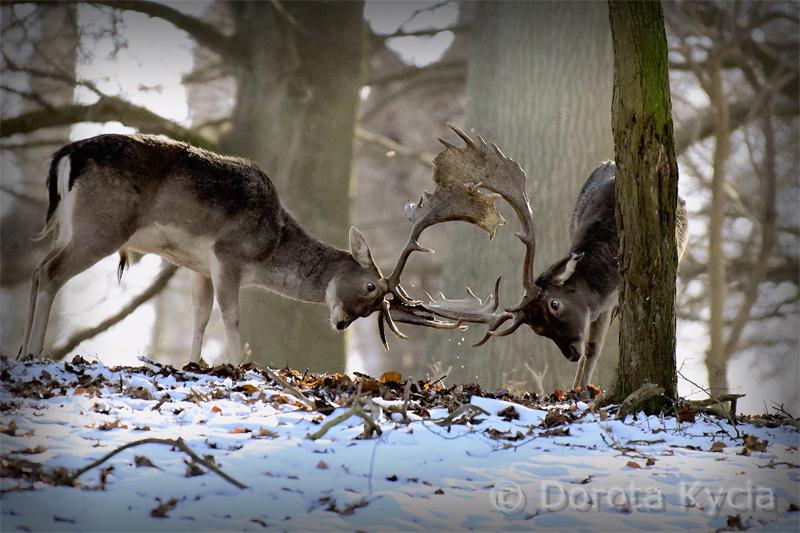 Dorota Kycia_Deer 1